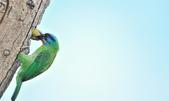 福志公園五色鳥:DSC_4077.jpg