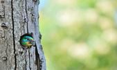 福志公園五色鳥:DSC_3588.jpg