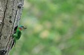 福志公園五色鳥:DSC_9174.jpg