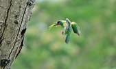 福志公園五色鳥:DSC_9231.jpg