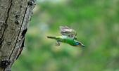 福志公園五色鳥:DSC_9235.jpg