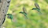 福志公園五色鳥:DSC_01402.jpg