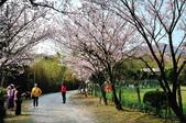 平菁街櫻花道路:DSC_4339.jpg
