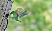 福志公園五色鳥:DSC_2786.jpg