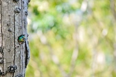 福志公園五色鳥:DSC_3557.jpg