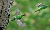 福志公園五色鳥:DSC_9156 (2).jpg
