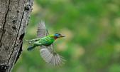福志公園五色鳥:DSC_9156.jpg