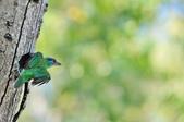 福志公園五色鳥:DSC_2778.jpg