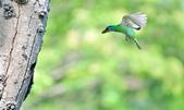 福志公園五色鳥:DSC_3143.jpg