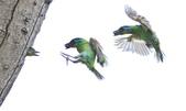 福志公園五色鳥:DSC_4393.jpg