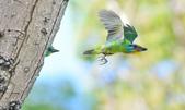 福志公園五色鳥:DSC_40481.jpg