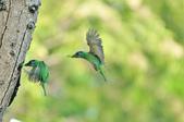 福志公園五色鳥:DSC_01401.jpg