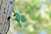 福志公園五色鳥:DSC_2734.jpg