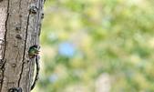 福志公園五色鳥:DSC_3326.jpg