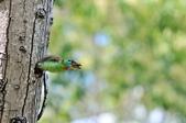 福志公園五色鳥:DSC_3343.jpg