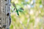 福志公園五色鳥:DSC_3545.jpg