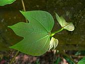 2008.5.3六寮植物篇~洪素娟攝影:P1470016.JPG