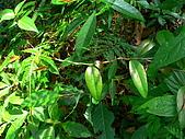 2008.5.3六寮植物篇~洪素娟攝影:P1470037.JPG