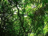 2008.5.3六寮植物篇~洪素娟攝影:P1470006.JPG