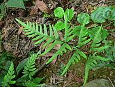2008.5.3六寮植物篇~洪素娟攝影:P1470026.JPG