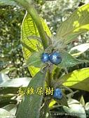 【情人湖~植物篇】~攝影-葉淑蓮、陳維文:5毛雞屎樹2.JPG