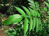 2008.5.3六寮植物篇~洪素娟攝影:P1470027.JPG