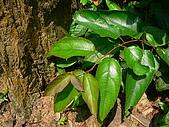 2008.5.3六寮植物篇~洪素娟攝影:P1470013.JPG