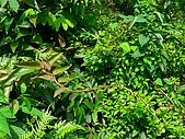 2008.5.3六寮植物篇~洪素娟攝影:P1470014.JPG