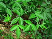 2008.5.3六寮植物篇~洪素娟攝影:P1470029.JPG