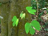 2008.5.3六寮植物篇~洪素娟攝影:P1470015.JPG