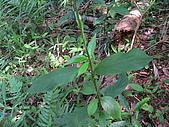 2008.5.3六寮植物篇~洪素娟攝影:P1470035.JPG