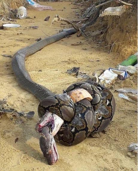 2016翻譯:蟒蛇.jpg