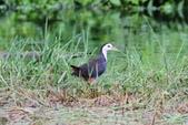 可愛的野鳥~郊野、公園健行隨意掠影看野鳥(四八):0127_0133.jpg