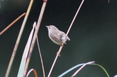 可愛的野鳥―褐頭鷦鶯(學名:Prinia inornata):IMG_6240.JPG