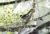 可愛的野鳥~郊野、公園健行隨意掠影看野鳥(四八):0127_0129.jpg