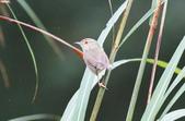 可愛的野鳥―褐頭鷦鶯(學名:Prinia inornata):IMG_6236.JPG