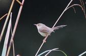 可愛的野鳥―褐頭鷦鶯(學名:Prinia inornata):IMG_6245.JPG