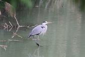 可愛的野鳥~郊野、公園健行隨意掠影看野鳥(四八):0127_0144.jpg