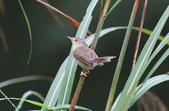 可愛的野鳥―褐頭鷦鶯(學名:Prinia inornata):IMG_6229.JPG
