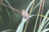 可愛的野鳥―褐頭鷦鶯(學名:Prinia inornata):IMG_6234.JPG