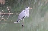 可愛的野鳥~郊野、公園健行隨意掠影看野鳥(四八):0127_0142.jpg