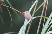 可愛的野鳥―褐頭鷦鶯(學名:Prinia inornata):IMG_6235.JPG