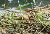 可愛的野鳥―褐頭鷦鶯(學名:Prinia inornata):IMG_6227.JPG