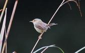 可愛的野鳥―褐頭鷦鶯(學名:Prinia inornata):IMG_6247.JPG