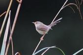 可愛的野鳥―褐頭鷦鶯(學名:Prinia inornata):IMG_6244.JPG
