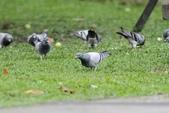 可愛的野鳥~郊野、公園健行隨意掠影看野鳥(四八):0127_0116.jpg