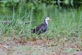 可愛的野鳥~郊野、公園健行隨意掠影看野鳥(四八):0127_0136.jpg