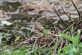 可愛的野鳥―褐頭鷦鶯(學名:Prinia inornata):IMG_6201.JPG