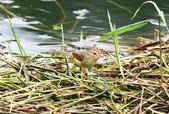 可愛的野鳥―褐頭鷦鶯(學名:Prinia inornata):IMG_6225.JPG