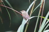 可愛的野鳥―褐頭鷦鶯(學名:Prinia inornata):IMG_6237.JPG